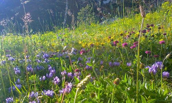 Bain de fleurs  au soleil couchant, la Moulières hier soir... Elleirame