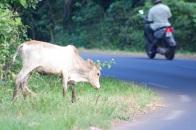 zébu (il y en a plein le long des routes)