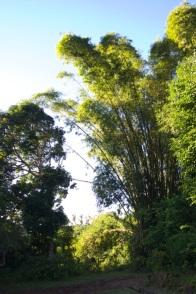 bambous géants (20 ? 25m ?)